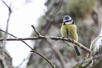 Blue tits returning to the nest boxes