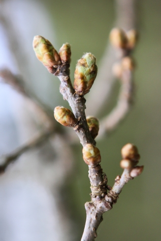 Oak buds bursting