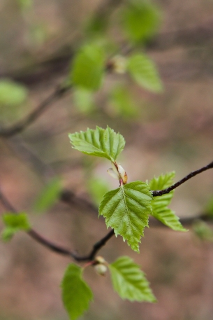 Birch leaves opening up