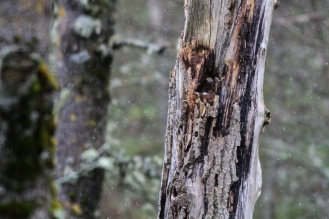 A well-camouflaged tawny owl